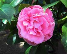 cara de angel-rosa floribunda