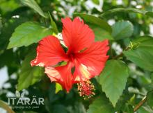 foto-semanal-itarar-amapola