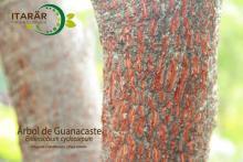 Arbol de Guanacaste - Foto de la semana