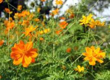 cambray-flor-silvestre