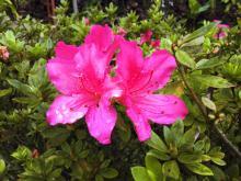 foto-semanal-itarar-azaleas