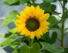 Beneficios de la planta de Girasol
