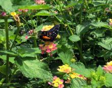 lantana-mariposa-parches-rojos