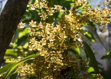 orquidea-dama- danzante -foto- semana