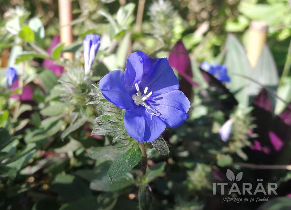 azulita-trepadora-foto-semanal