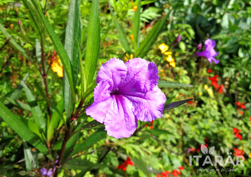 petunia-mexicana-foto-semanal